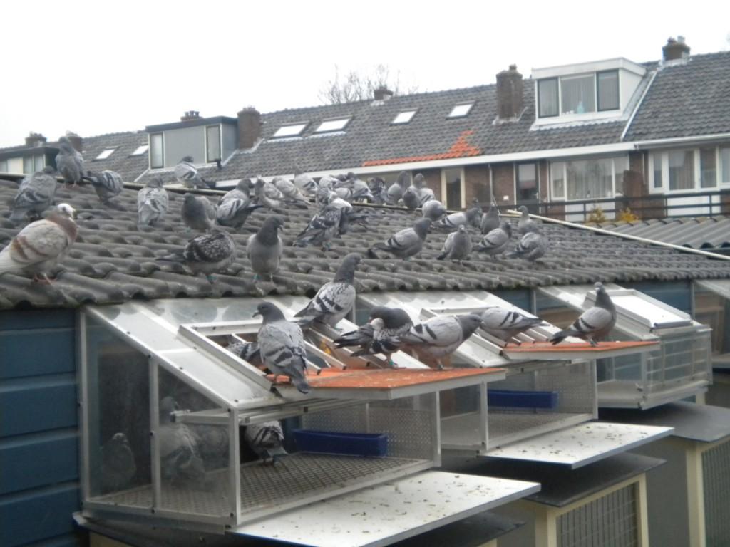 uitwennen jonge duiven 2011